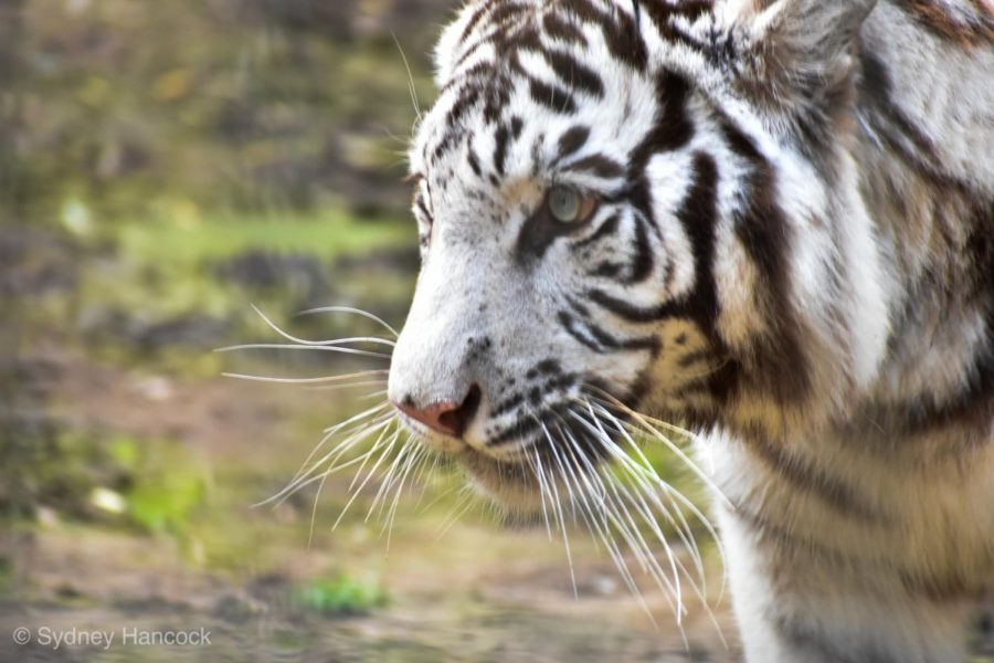 A DANGEROUS TRADE: The sale of wild animals in China poses risks not only to the animals hunted, but also individuals who handle wild animal products. Zoonotic diseases such as the coronavirus can be spread through the sale of wild animal products when not properly regulated.